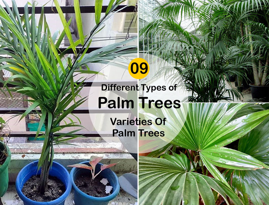09 Different Types of Palm Trees | Varieties Of Palm Trees