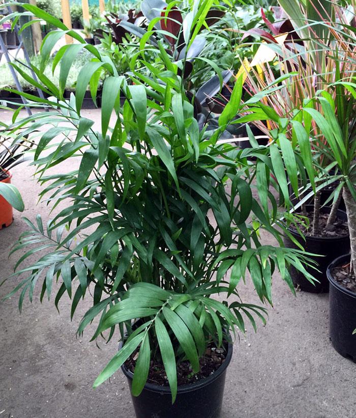 Parlor Palm