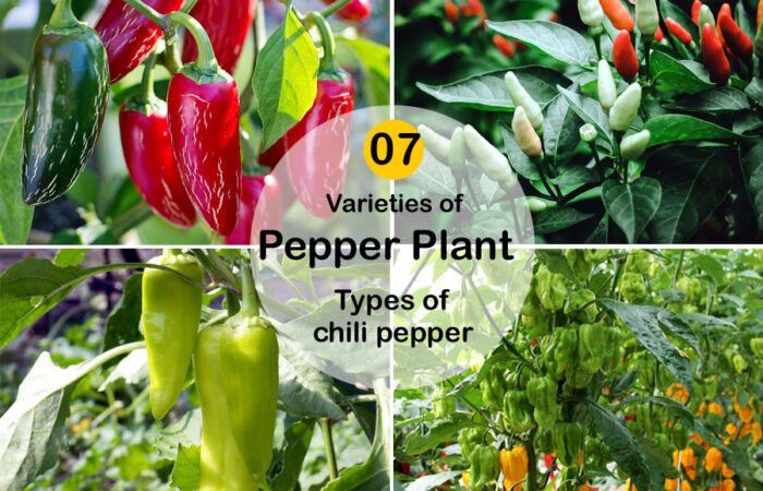 Types of chili pepper