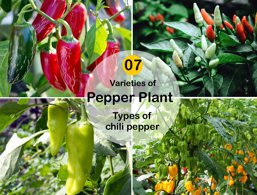 Varieties of Pepper Plant for your Kitchen-garden | Types of chili pepper