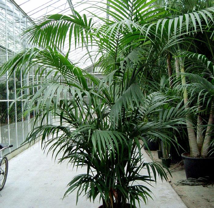 Types of Palm Trees   Kentia Palm