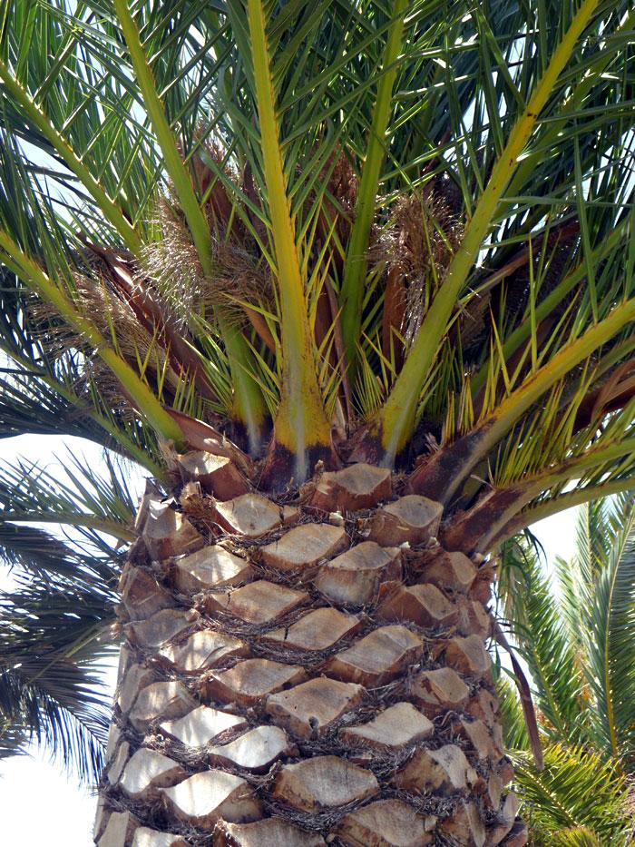 Varieties Of Palm Trees